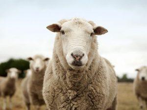 Sheep, Goat & Alpaca